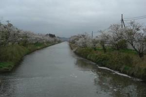 黒部川鉄橋上流の桜